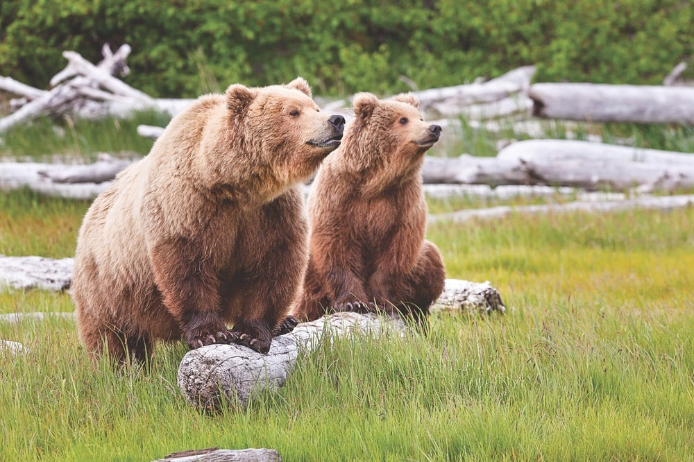 Guided bear watching is a popular activity.