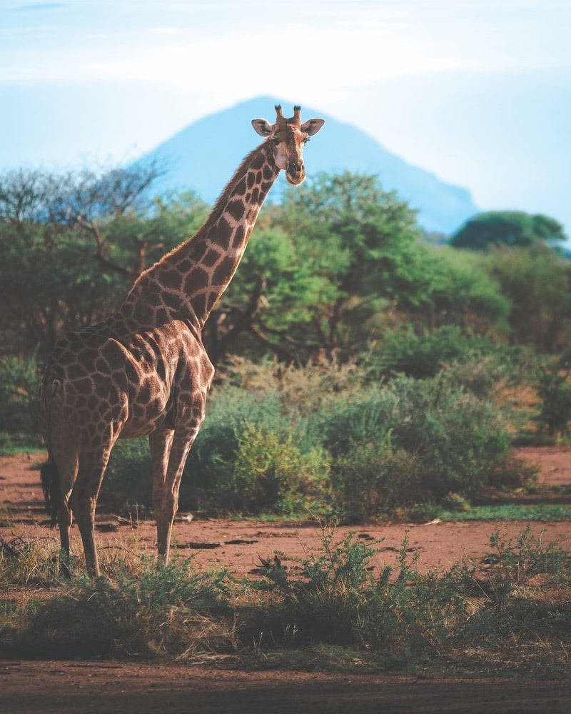 Paul Hänninen says that witnessing a fully grown giraffe run was an unforgettable experience. This image was also captured at Erindi Private Game Reserve in Namibia.