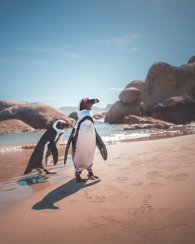 "On his Instagram, this photo of penguins in Cape Town, South Africa, is accompanied by Paul Hänninen's playful caption, ""Tag these two knuckleheads from your friend list."""