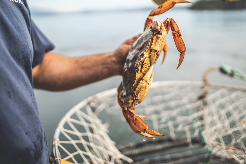 Commercial Fishing, Dungeness crab from Puget Sound