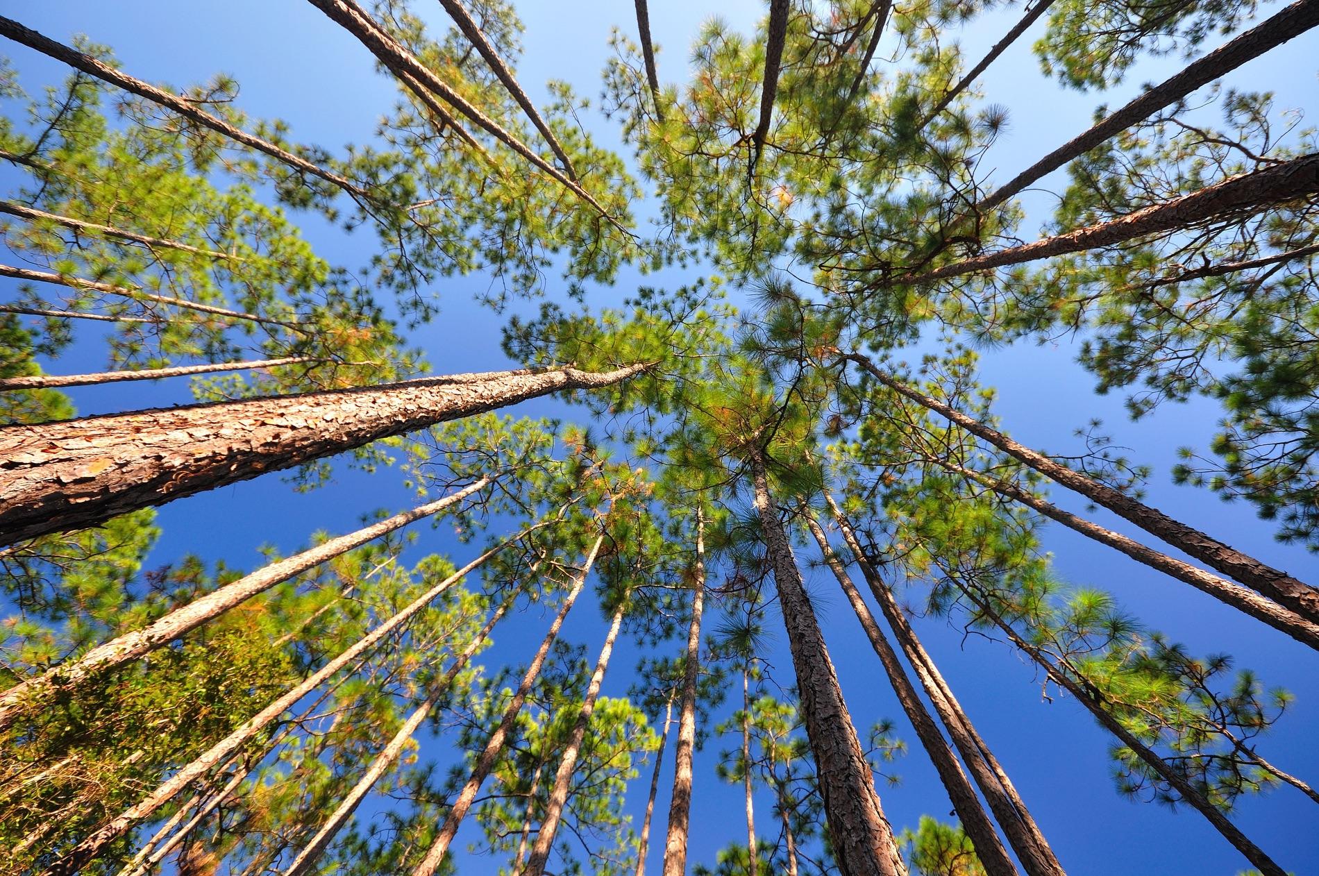 florida longleaf pine canopy from below