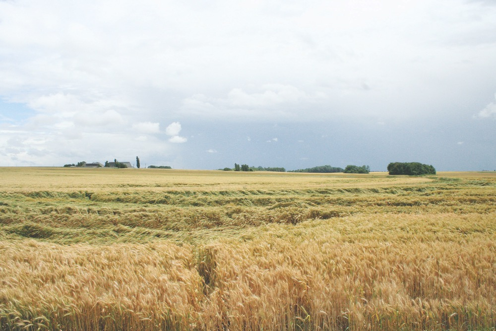 France's Pays de la Loire region—beautiful rolling fields of golden wheat as far as the eye can see