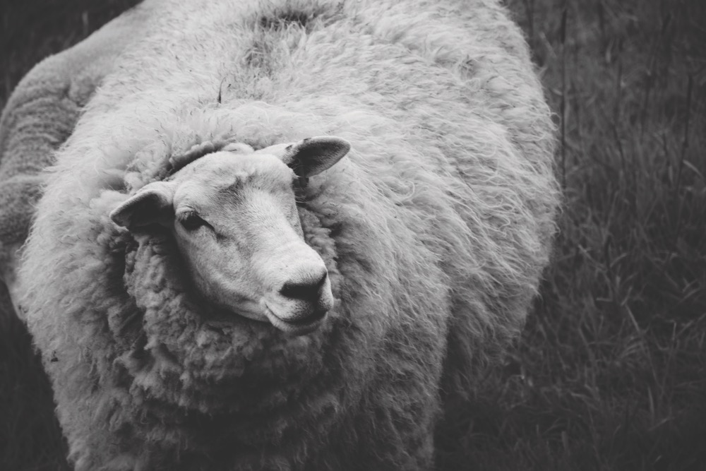 Black And White Close Up Of A Woolly Sheep With A Thick Coat Of Long Wool