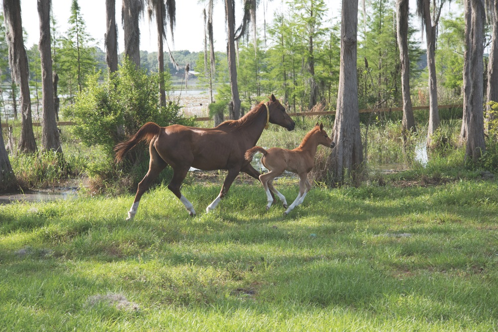 A mare and her foal run free in one of Al-Marah's lush paddocks