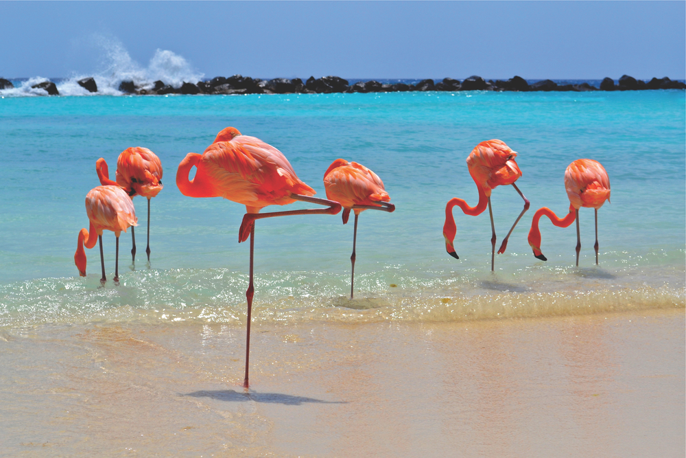 The wildlife on Aruba varies greatly across the island's diverse ecosystems. This famous pink flock can be seen on Flamingo Beach on Renaissance Island.
