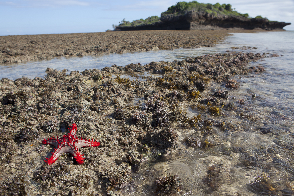 Starfish laying on land in Chumbe Island Coral Park