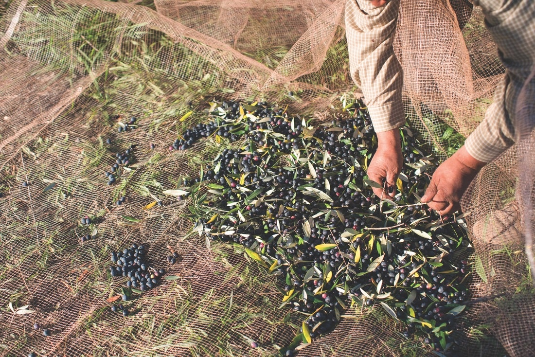 Farmers cultivate eight acres of olive trees and then propagate them to grow new ones to fill the historic grove.