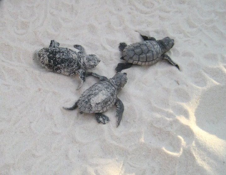 Friends of South Walton Sea Turtles