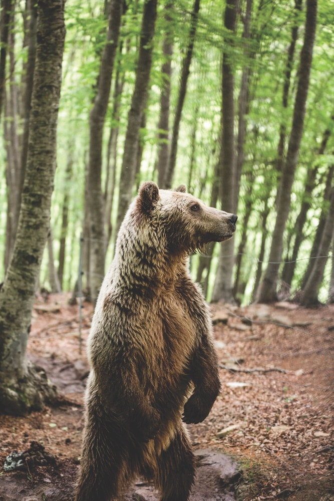 A brown bear stands on its hind legs. The largest bear populations in Greece live in the Pindus and Rhodope Mountains.