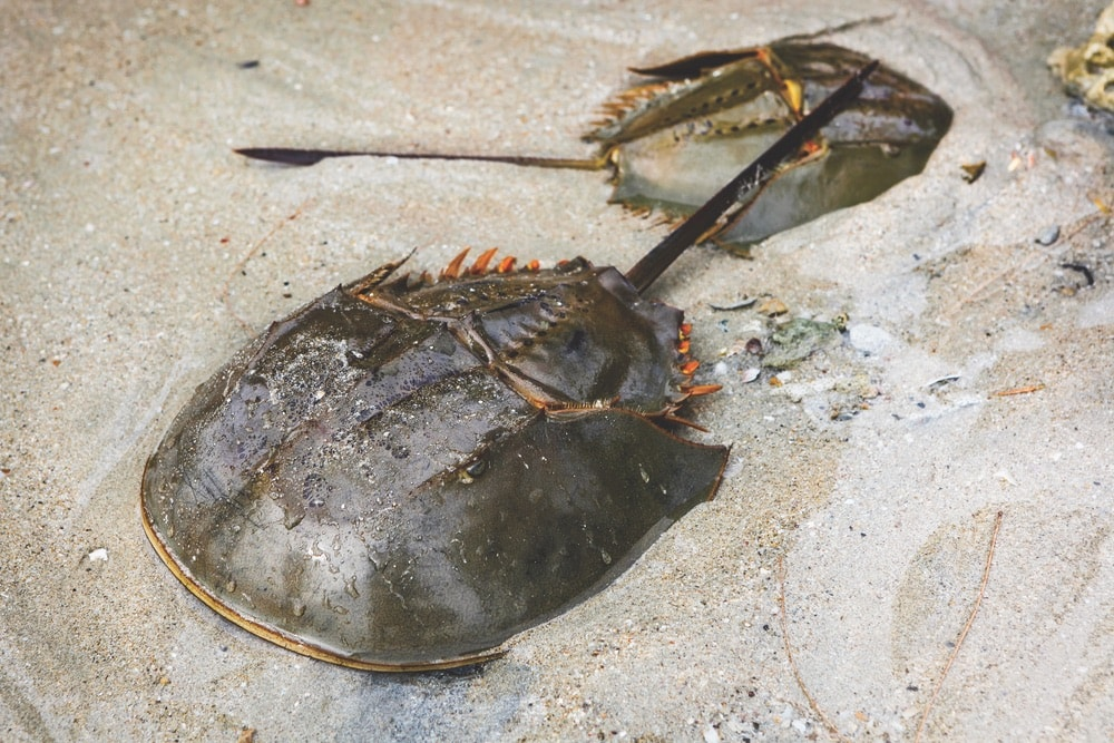 Found in the shallow waters around Mobile Bay, horseshoe crabs have hardly changed in millions of years and are considered to be living fossils.