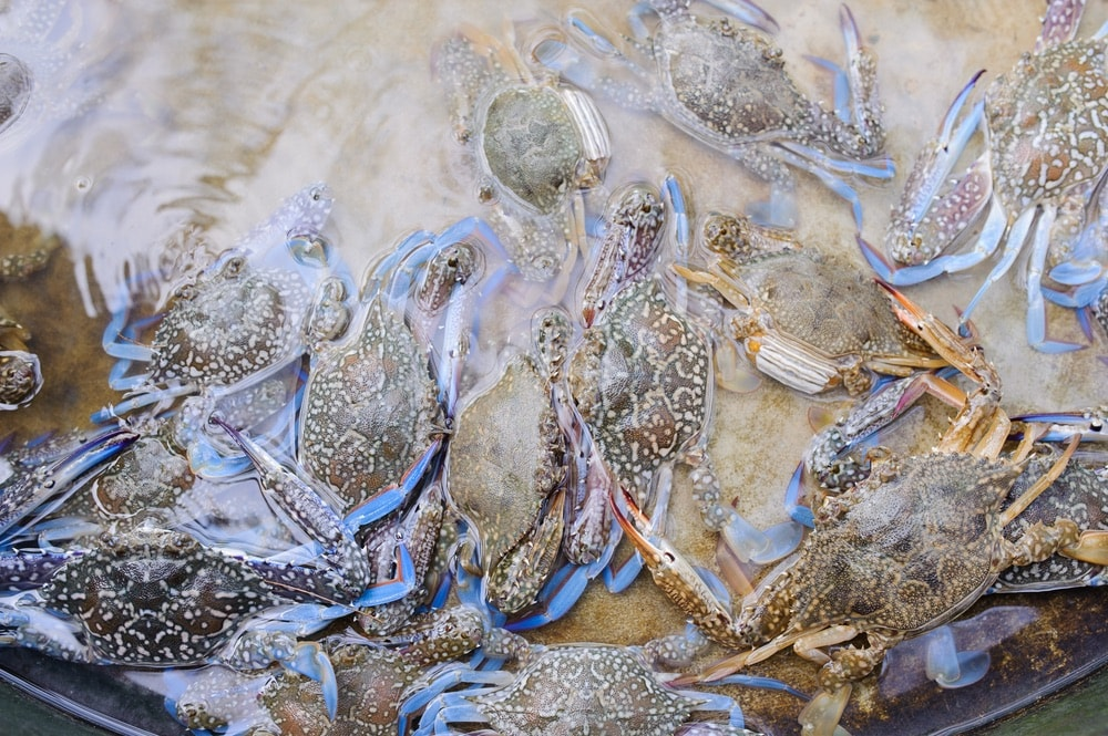 Blue crab in the water from the Dauphin Island area