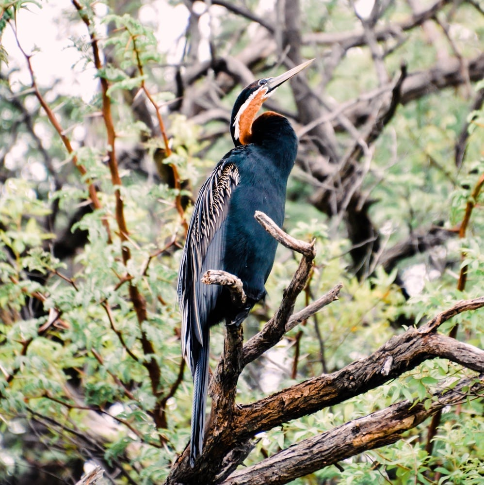 A male African darter perches on a branch near the river.
